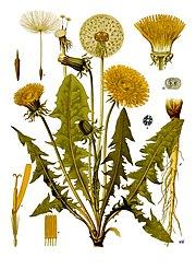 180px-Taraxacum_officinale_-_Köhler–s_Medizinal-Pflanzen-135