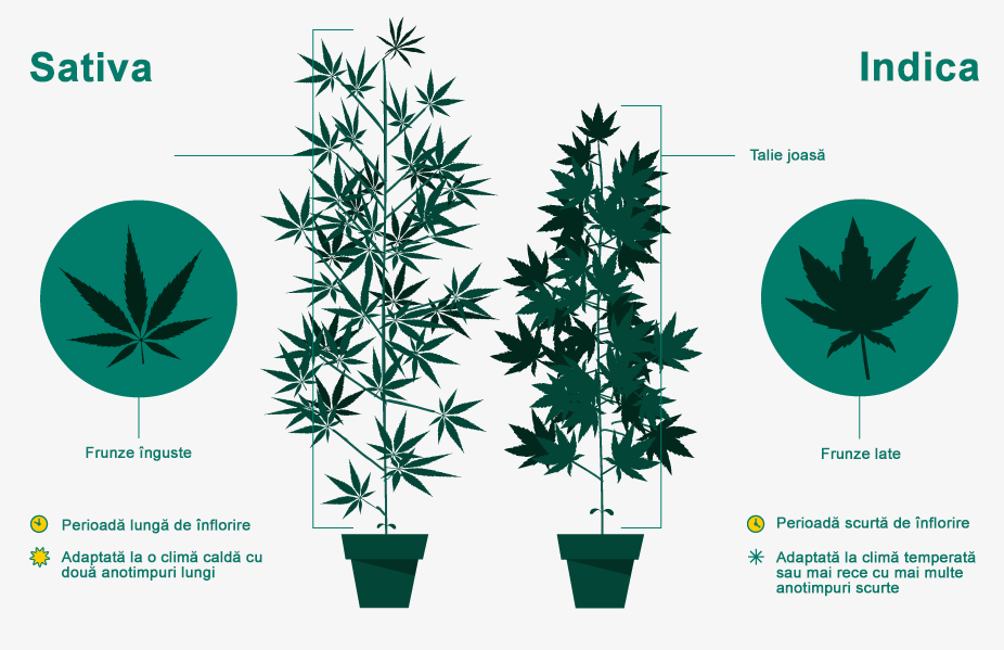 sativa-vs-idica